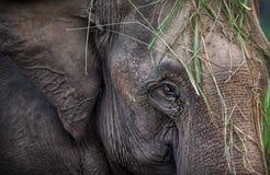 大象尼泊尔 免版税库存照片