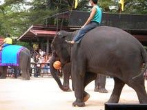 大象展示  库存图片