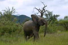 大象年轻人 免版税库存照片