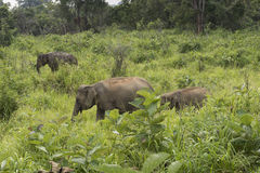 大象徒步旅行队在Polonnaruwa,斯里兰卡 免版税图库摄影