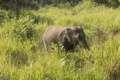 大象徒步旅行队在Polonnaruwa,斯里兰卡 免版税库存图片