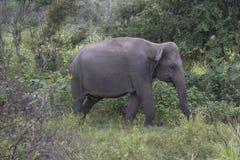 大象徒步旅行队在Polonnaruwa,斯里兰卡 免版税库存照片