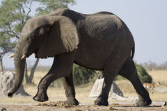 大象徒步旅行队 免版税库存照片