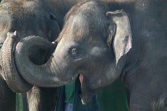 大象微笑 库存照片