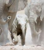 大象惊逃 免版税库存照片