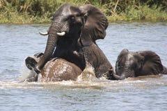 大象戏剧战斗 免版税库存照片