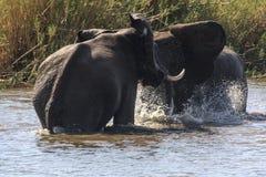 大象戏剧战斗 库存照片