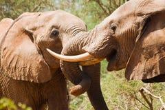 年轻大象战斗 库存图片