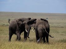 大象战斗 库存图片