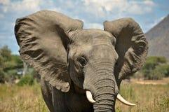 大象所有耳朵 免版税库存照片