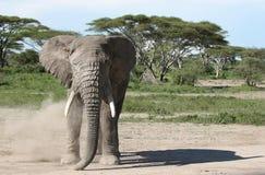 大象打扫灰尘 库存照片