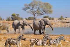 大象拌嘴, Etosha国家公园,纳米比亚 库存图片