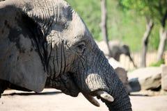 大象接近  图库摄影