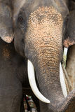 大象接近  库存图片