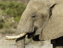大象接近2 免版税库存图片