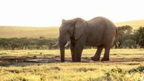 大象日落-非洲人布什大象 图库摄影