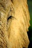 大象查阅 免版税库存图片