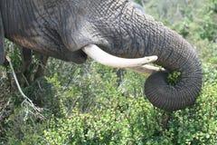 大象树干和象牙 免版税图库摄影