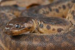 大象树干蛇/Acrochordus javanicus 库存图片