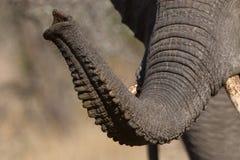 大象树干 免版税库存照片