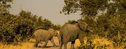 大象横穿路 免版税库存照片