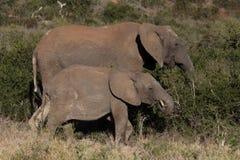 大象母亲和她的小牛在非洲灌木 免版税库存图片