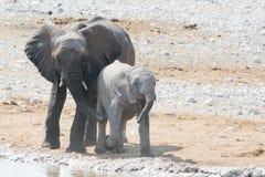 大象母牛和小牛在Waterhole 库存照片