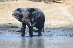 大象水坑 库存照片