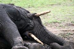 大象泥使用 免版税库存照片
