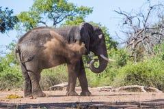 大象泥浴在博茨瓦纳 免版税库存图片