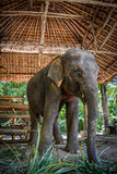 大象泰国 免版税库存照片