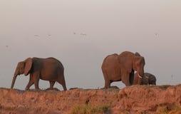 大象牧群博茨瓦纳 免版税库存照片