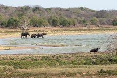 大象牧群向湖 免版税库存图片