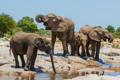 大象牧群喝 免版税库存照片