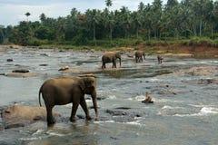 大象牧群在河的在密林 免版税图库摄影