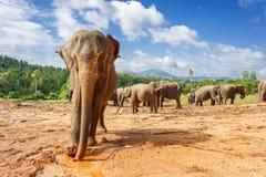 大象牧群在自然的 免版税库存图片