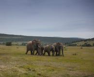 大象牧群走 免版税库存照片