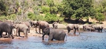 大象牧群 免版税图库摄影