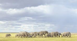 大象牧群Elephantidae 免版税库存图片