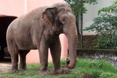 大象特写镜头在房子前面的 库存照片