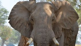 大象特写镜头 库存照片