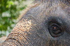 大象特写镜头头  图库摄影