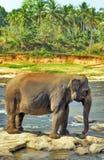 大象狂放在河 库存图片