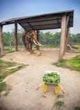 大象用食物在尼泊尔 免版税库存图片