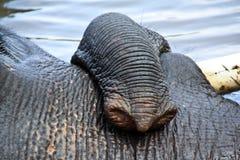 大象的树干的特写镜头图象 库存照片
