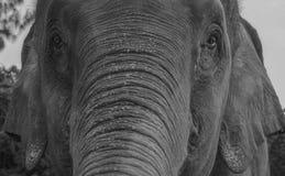 大象的特写镜头 免版税库存照片