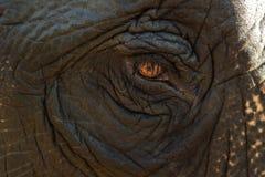 大象的眼睛 库存图片