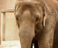 大象的面孔 免版税库存照片