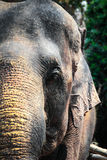 大象的头 库存图片
