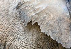 大象皮肤纹理特写镜头 免版税库存图片